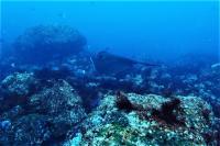 白濁りしましたが水温MAX27.7℃ #ハンマー単体~群れ、メジロザメ[4]