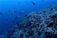 白濁りしましたが水温MAX27.7℃ #ハンマー単体~群れ、メジロザメ[5]