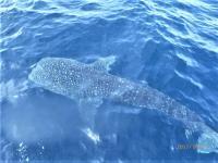 東洋のガラパゴス #ハンマー群れ大集結&ジンベイザメ[6]