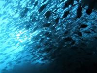 夏日の神子元島4航海 #ハンマー群れ、カンパチ群れ[3]