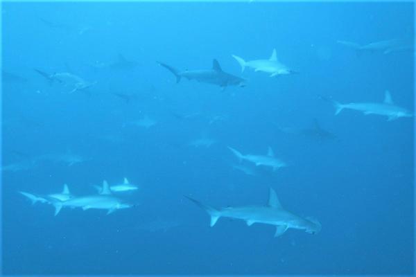 今日の神子元島 #ハンマー群れ、カツオ群れをロックオンするメジロザメ