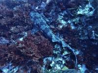今日の神子元島 #ハンマー群れ #メジマグロ群れ #マンボウ2匹[7]
