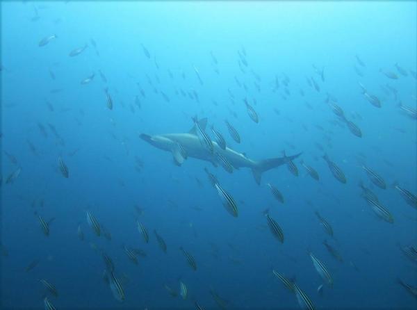 今日の神子元島 #ハンマー、メジロザメ、カンパチ