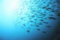 今日の神子元島 #ハンマー群れ、メジロザメなど[1]
