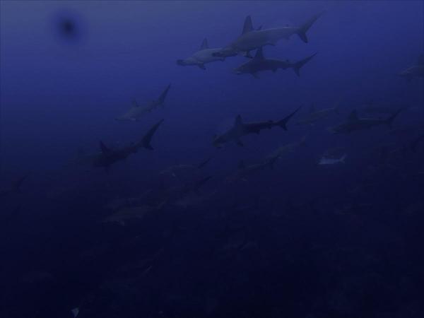 神子元島3ダイブ #ハンマー群れ、カンパチ群れ