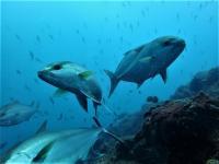 今日の神子元島 #東洋のガラパゴス 今日もハンマーリバーで好調[8]