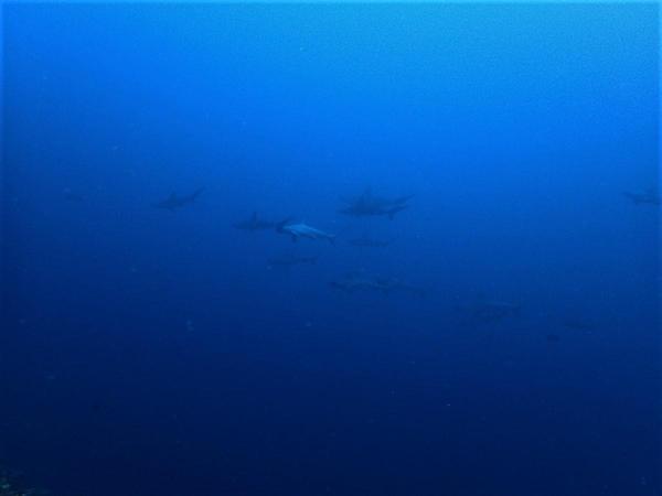 今日の神子元島 #ハンマー群れ、カマストガリ、メジロザメ