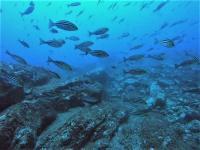 今日の神子元島 #ハンマー群れ、カマストガリ、メジロザメ[8]