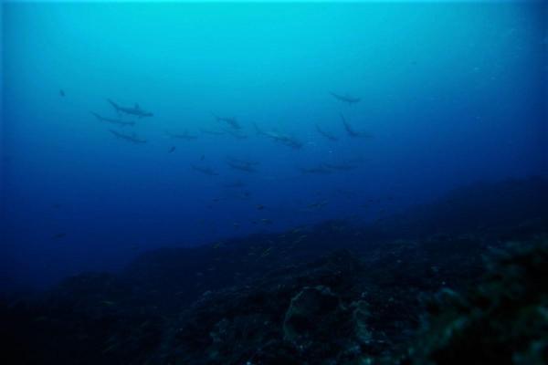 今日の神子元島 #雨でも元気に4航海、そして4航海でハンマー群れ