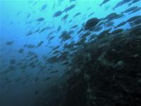 今日の神子元島 #水色水温ダウン・・・でもいます[2]