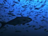 今日の神子元島2ダイブ #水色ダウンしましたがハンマー群れ[6]