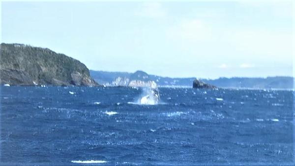 今日の神子元島 #ザトウクジラ