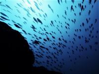 今日の神子元島2ダイブ #11月のスタート日は浮遊物多めの白濁り[6]