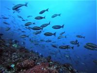 今日の神子元島3ダイブ #黒潮の影響で水色水温共に絶好調![7]