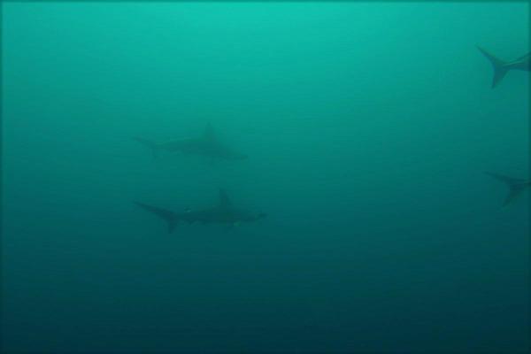今日の神子元島2ダイブ #不安定な水色水温ですが魚影は濃いですよ